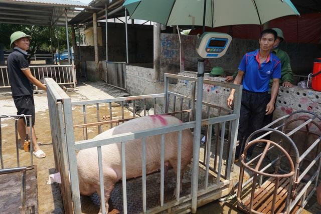 Lo ngại người chăn nuôi bán tống, bán tháo lợn thịt để vớt... giá! - 2