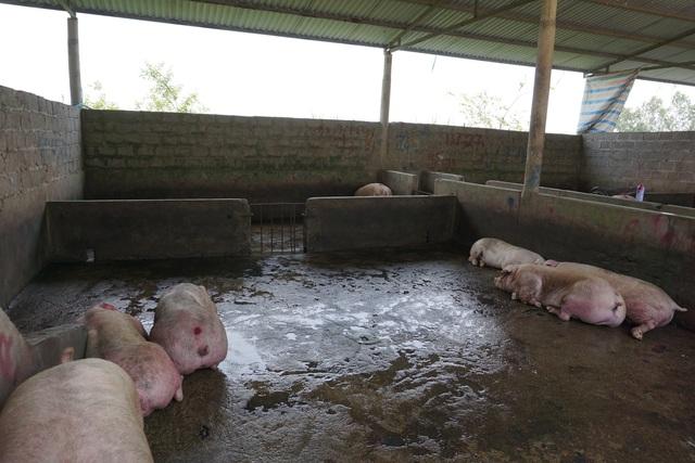 Chợ đầu mối lợn hơi ế ẩm, tiểu thương ngồi đuổi ruồi vì giá quá cao - 6