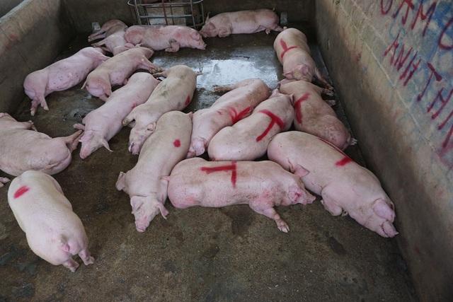 Chợ đầu mối lợn hơi ế ẩm, tiểu thương ngồi đuổi ruồi vì giá quá cao - 5