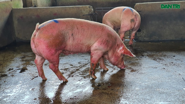 Phát sốt vì thịt lợn siêu thị siêu rẻ bán tràn lan trên mạng! - 1