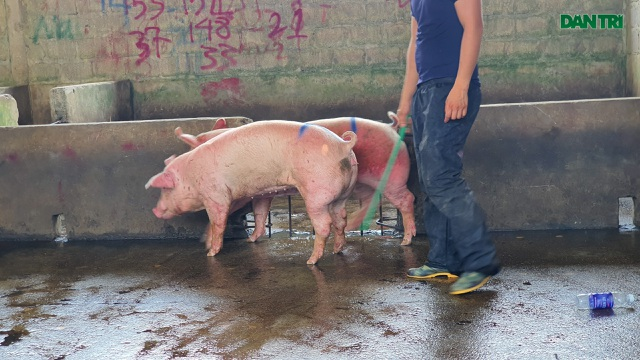 Lợn sống từ Lào, Campuchia đổ về nhiều, lợn hơi trong nước liên tục mất giá - 3