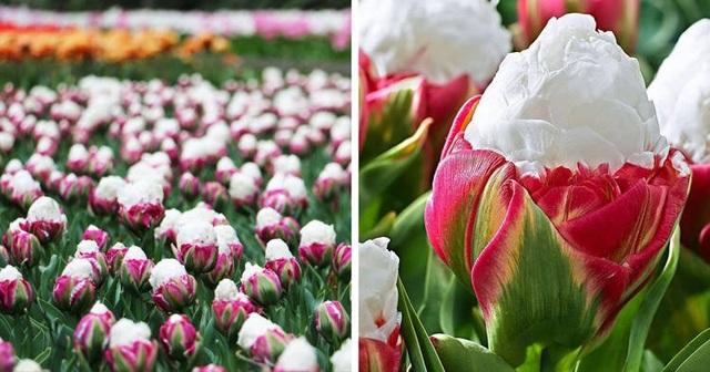 Tuyệt đẹp và độc đáo bông hoa tulip giống hệt ly kem mát lạnh - 1