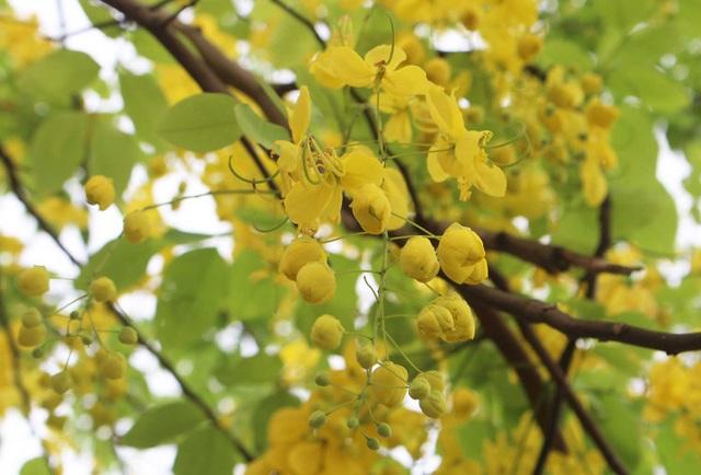 Rực rỡ sắc muồng Hoàng Yến, ngát hương thơm trong nắng hè Hà Nội - 2