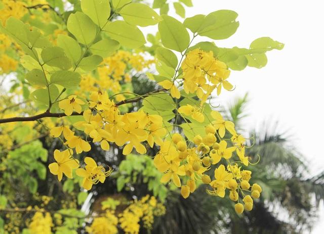 Rực rỡ sắc muồng Hoàng Yến, ngát hương thơm trong nắng hè Hà Nội - 9