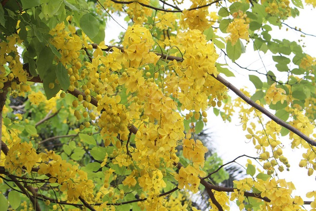 Rực rỡ sắc muồng Hoàng Yến, ngát hương thơm trong nắng hè Hà Nội - 3