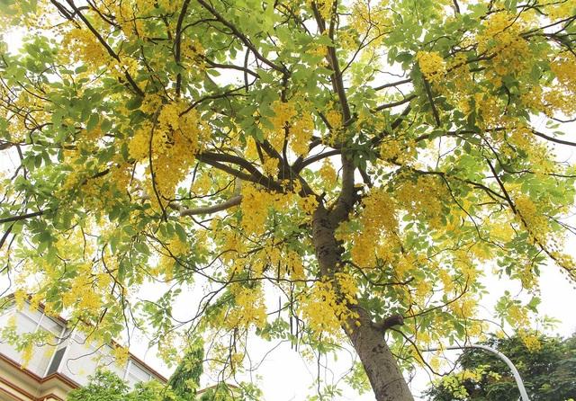 Rực rỡ sắc muồng Hoàng Yến, ngát hương thơm trong nắng hè Hà Nội - 4
