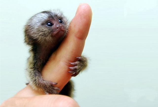 Loài khỉ siêu tý hon có kích thước bằng ngón tay cái, nặng 15 gram - 1