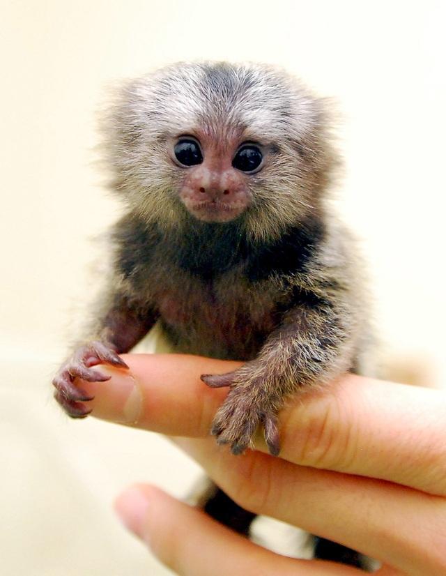 Loài khỉ siêu tý hon có kích thước bằng ngón tay cái, nặng 15 gram - 2