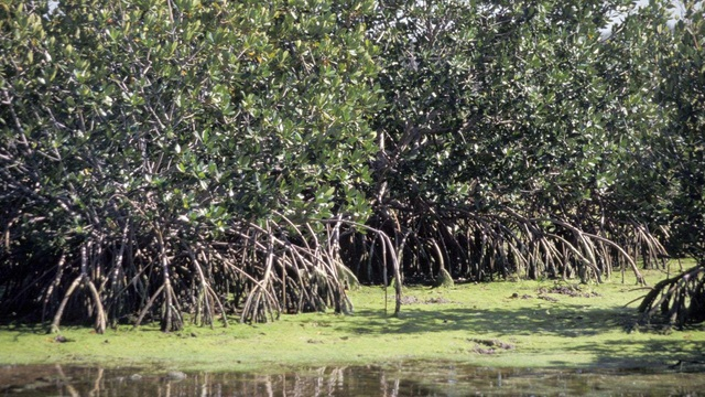 Mực nước biển dâng cao sẽ quét sạch rừng ngập mặn vào năm 2050 - 1