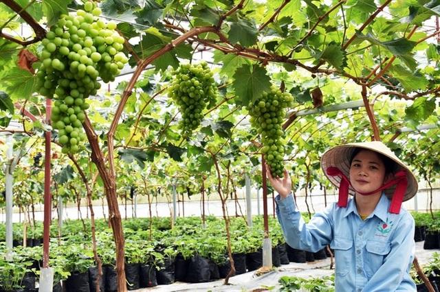 Trồng dâu tây Bạch Tuyết hiếm nhất thế giới, bán tiền triệu mỗi cân - 3