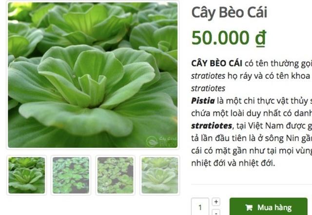 Ở quê bỏ đi lợn cũng không ăn, lên mạng bán 50 ngàn đồng/cây - 2