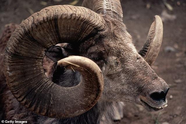 Con trai ông Trump tiêu tốn 75.000 USD tiền thuế vì đi săn cừu quý - 2