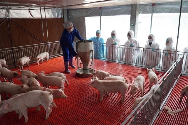 Cần làm gì để hạ nhiệt giá thịt lợn? - 1