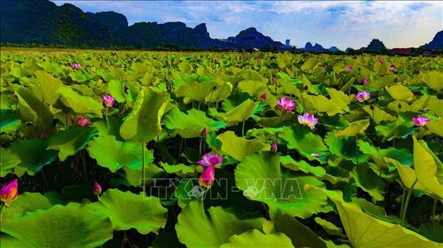 Thơ mộng sen hồng vùng đất cố đô Ninh Bình - 1