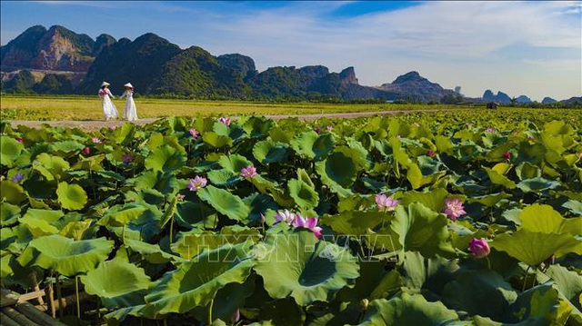 Thơ mộng sen hồng vùng đất cố đô Ninh Bình - 2