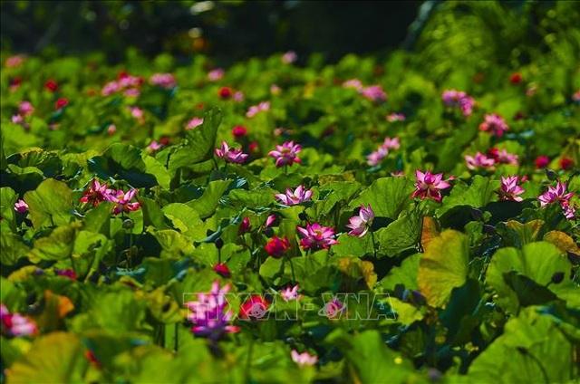 Thơ mộng sen hồng vùng đất cố đô Ninh Bình - 3