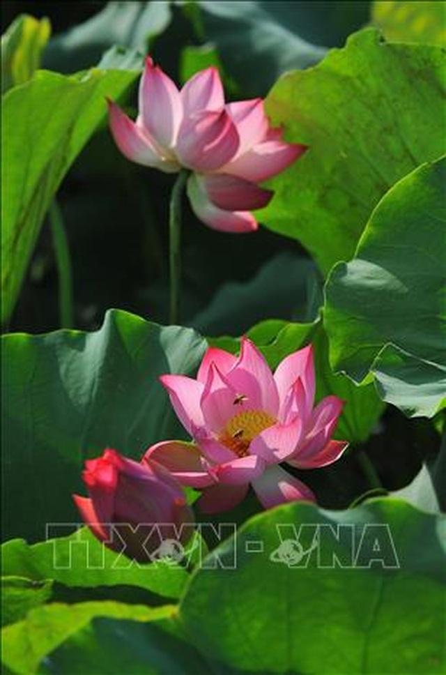 Thơ mộng sen hồng vùng đất cố đô Ninh Bình - 4