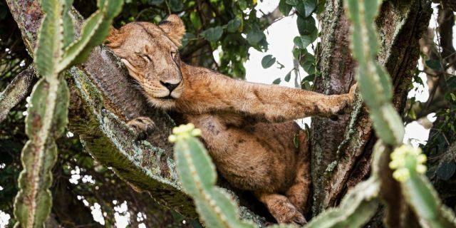 Đàn sư tử ngủ trưa trên cây phủ đầy gai - 1
