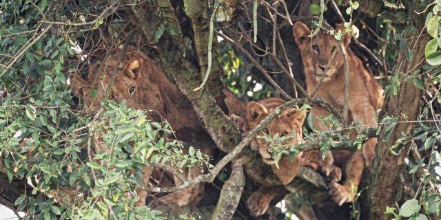 Đàn sư tử ngủ trưa trên cây phủ đầy gai - 2