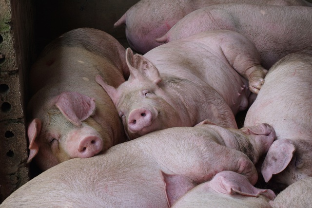 Gần 2 triệu con lợn sống Thái Lan đang được nhập về Việt Nam - 3
