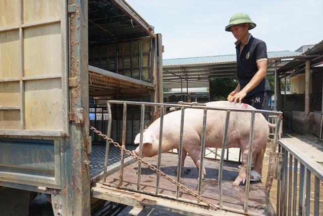 Gần 2 triệu con lợn sống Thái Lan đang được nhập về Việt Nam - 4