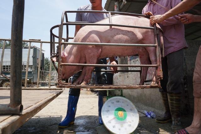 Gần 2 triệu con lợn sống Thái Lan đang được nhập về Việt Nam - 2