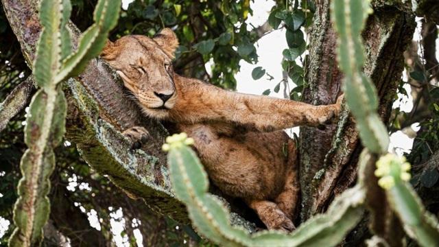Sư tử nằm chen chúc nhau ngủ trên cây chứa nhiều độc tố - 1