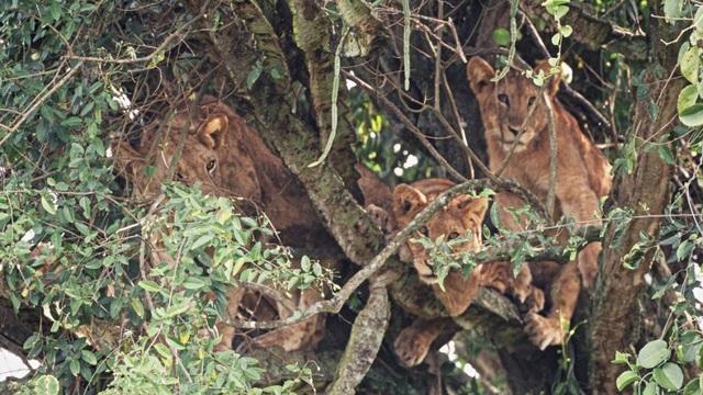 Sư tử nằm chen chúc nhau ngủ trên cây chứa nhiều độc tố - 2