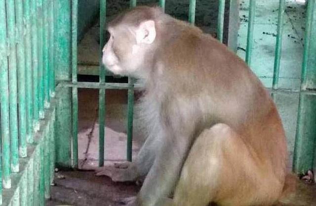 Khỉ nghiện rượu tính tình hung dữ, làm 1 người chết và 250 người bị thương - 1