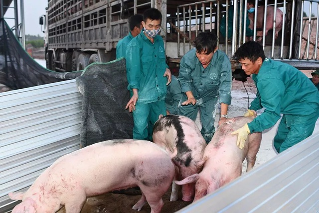 Lo ngại người chăn nuôi bán tống, bán tháo lợn thịt để vớt... giá! - 1