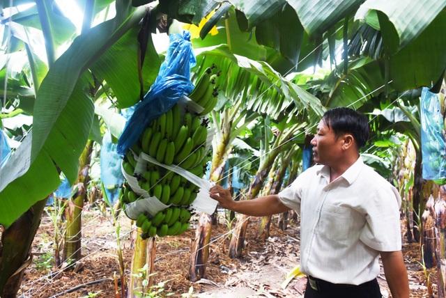 Lão nông thu tiền tỷ nhờ trồng chuối tiêu hồng - 2