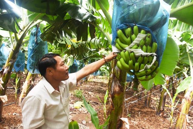 Lão nông thu tiền tỷ nhờ trồng chuối tiêu hồng - 3