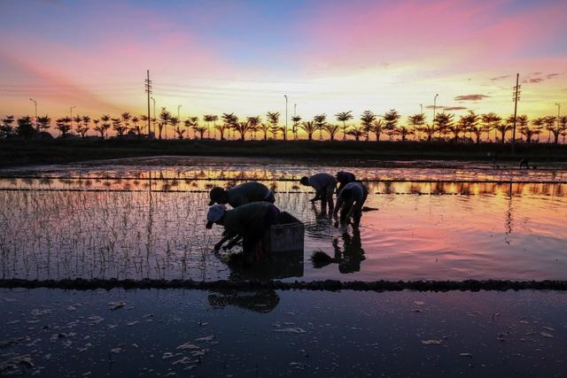 Nông dân Hà Nội đeo đèn pin đi cấy lúc nửa đêm - 5