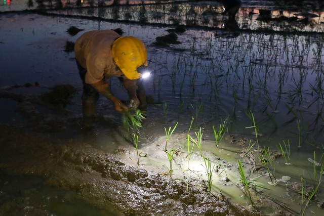 Nông dân Hà Nội đeo đèn pin đi cấy lúc nửa đêm - 2