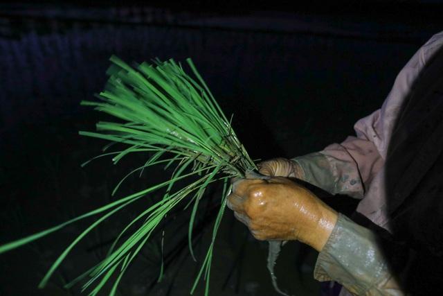Nông dân Hà Nội đeo đèn pin đi cấy lúc nửa đêm - 1