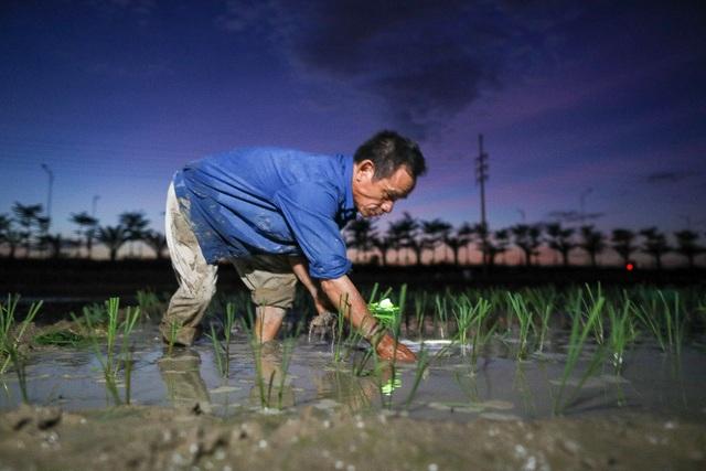 Nông dân Hà Nội đeo đèn pin đi cấy lúc nửa đêm - 4