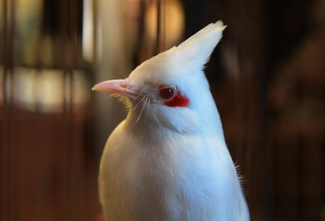 Mãn nhãn với bộ sưu tập chim quý hiếm, giá khủng của vua chim màu Việt - 6