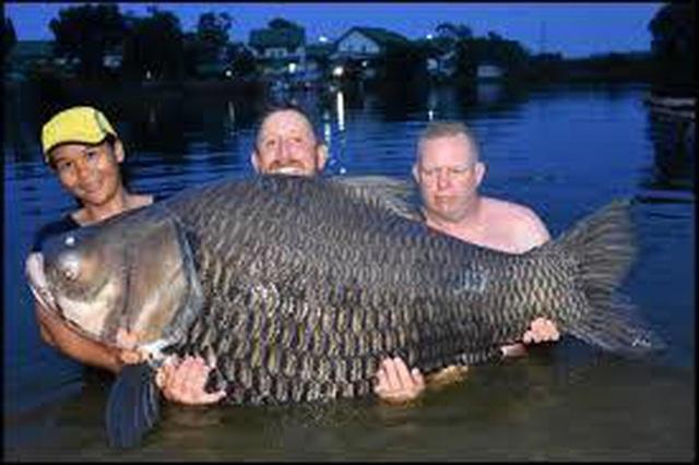 Bắt được cá khổng lồ thuộc họ cá chép nặng 51 kg - 3