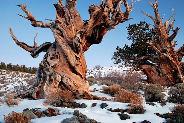 Cây tùng cổ thụ 1.900 năm tuổi với thân cây rỗng hoàn toàn - 3