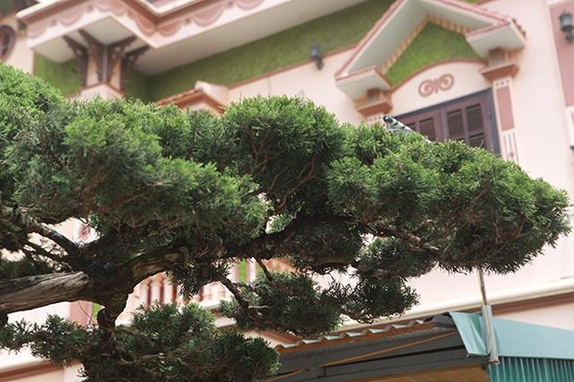 Choáng với cây cảnh hơn 300 tuổi của đại gia Phú Thọ, có người trả 23 tỷ đồng vẫn không bán - 10