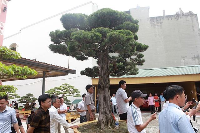 Choáng với cây cảnh hơn 300 tuổi của đại gia Phú Thọ, có người trả 23 tỷ đồng vẫn không bán - 11