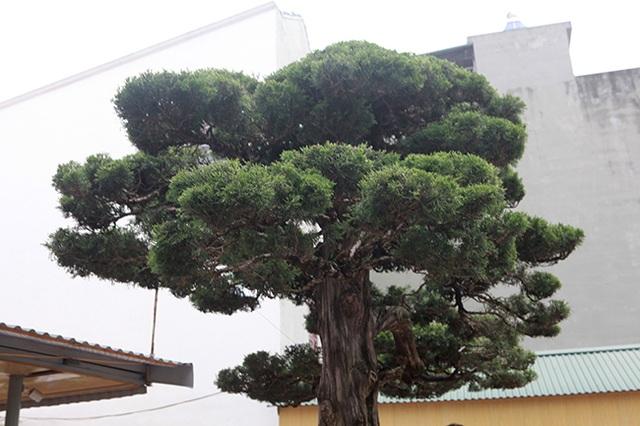 Choáng với cây cảnh hơn 300 tuổi của đại gia Phú Thọ, có người trả 23 tỷ đồng vẫn không bán - 12