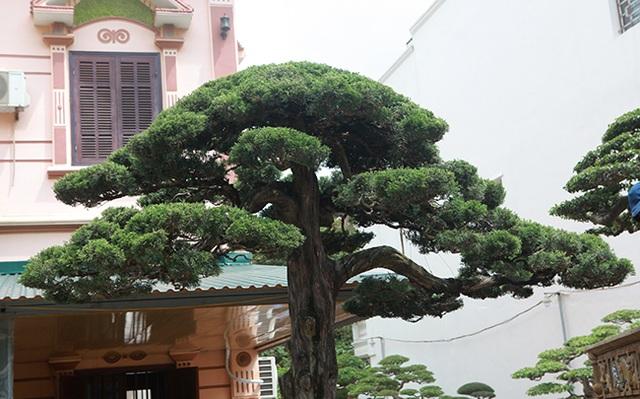 Choáng với cây cảnh hơn 300 tuổi của đại gia Phú Thọ, có người trả 23 tỷ đồng vẫn không bán - 4