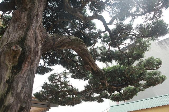 Choáng với cây cảnh hơn 300 tuổi của đại gia Phú Thọ, có người trả 23 tỷ đồng vẫn không bán - 5