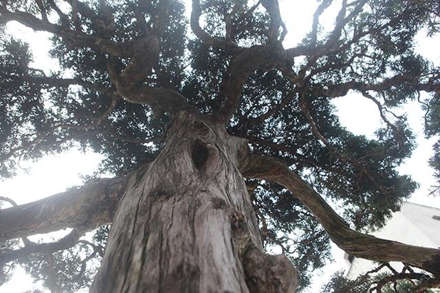 Choáng với cây cảnh hơn 300 tuổi của đại gia Phú Thọ, có người trả 23 tỷ đồng vẫn không bán - 6