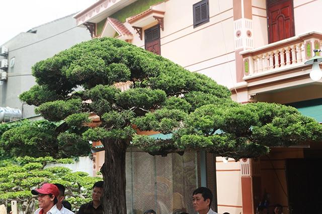 Choáng với cây cảnh hơn 300 tuổi của đại gia Phú Thọ, có người trả 23 tỷ đồng vẫn không bán - 8