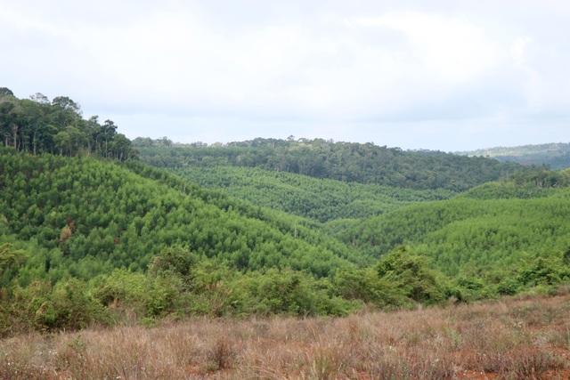 Lạ đời doanh nghiệp nhận tiền tỷ để trồng rừng phòng hộ bằng cây ngắn ngày - 3