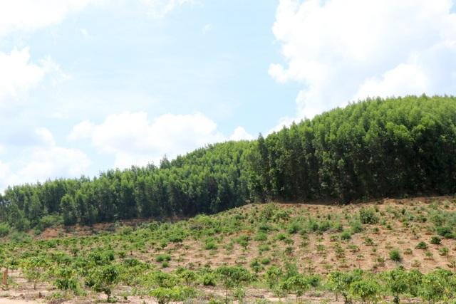 Lạ đời doanh nghiệp nhận tiền tỷ để trồng rừng phòng hộ bằng cây ngắn ngày - 2