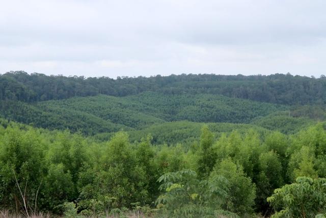 Lạ đời doanh nghiệp nhận tiền tỷ để trồng rừng phòng hộ bằng cây ngắn ngày - 1