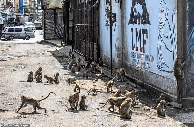 Ở nơi người dân đang phải giành lại thành phố từ... bầy khỉ - 10